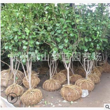 山茶 绿化 苗木 树形 饱满 精致 灌木 土球好 冠幅好 花灌 地被