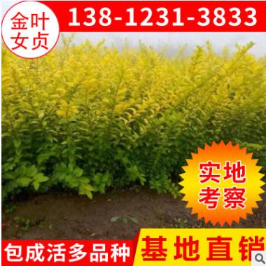 苗圃绿化苗木 金叶女贞2-4分枝 黄叶女贞苗批发 绿化工程苗木