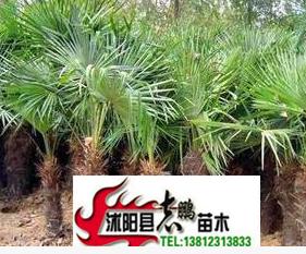 出售绿化苗木 棕榈 耐寒 棕高80--5米 量大从优