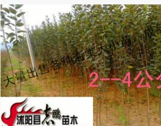 大量出售西湖海棠 垂丝海棠大小苗 规格齐全 品种齐全苗高20--2米