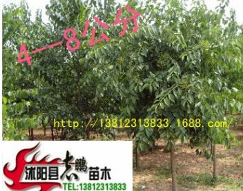 出售绿化乔木 丝棉木 丝棉木树苗 欢迎订购