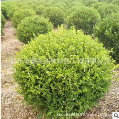 基地供应小叶黄杨球 工程绿化常绿篱笆植物 瓜子黄杨球量大优惠
