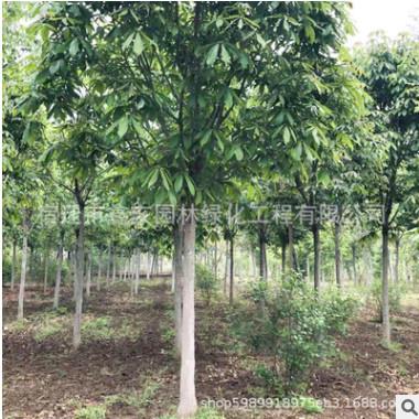 七叶树树苗批发绿化苗木 七叶树苗圃直销工程苗规格齐全 七叶树