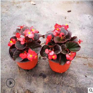 四季海棠多年生常绿草本茎直立稍肉质 喜温暖而凉爽气候观赏植物