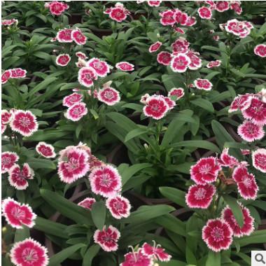 花带花卉植物盆栽石竹 喜阳光干燥绿化工程苗木园林观赏植物