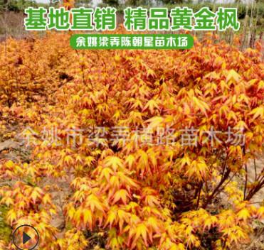 浙江苗木基地供应黄金枫羽毛枫枫树苗 优质树苗品种齐全量大价优