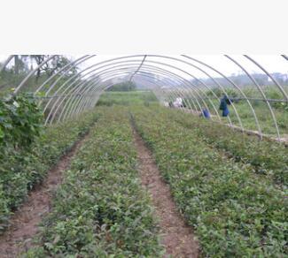 西南苗木基地批发柿子苗