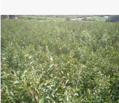 西南种苗基地出售李子苗、青脆李、冰糖李、脆红李