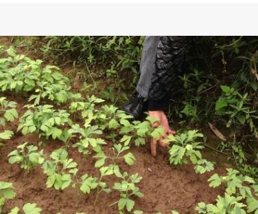 西南苗木基地批发出售优质银杏苗