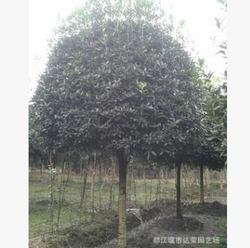 优质桂花工程苗 树形优美桂花工程苗 高成活率移栽工程苗批发
