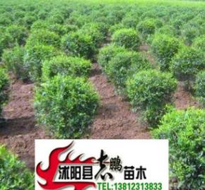 出售绿化苗木 水蜡 水蜡苗2--3分枝 20--50高 量大从优