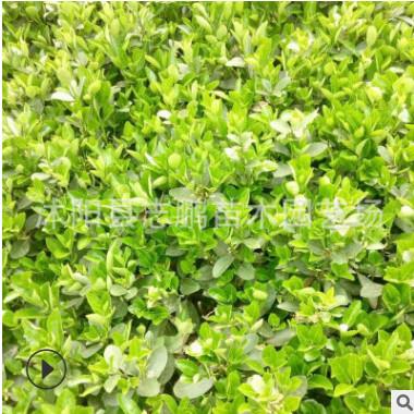 大叶黄杨球绿篱 黄杨小苗盆景 绿化工程大叶黄杨床苗