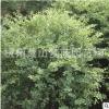 银鸡小腊 土球好 冠幅好 花灌木 地被 球类 色块类 草花类 萧山苗