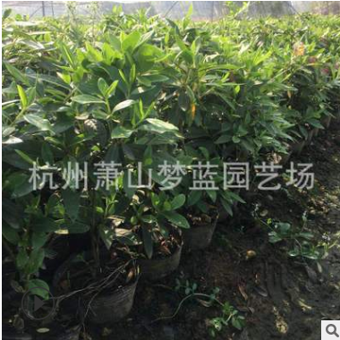 夏鹃 梦蓝 园艺 公司 批发 工程 绿化 行道树 规格 品种 齐全萧山