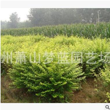 金叶女贞球 土球 冠幅 好 萧山 园林 绿化 优质苗 成活率高 量多