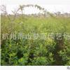 金丝桃 园林 绿化 工程 优质 苗 成活率 高 萧山 苗圃 直销价低
