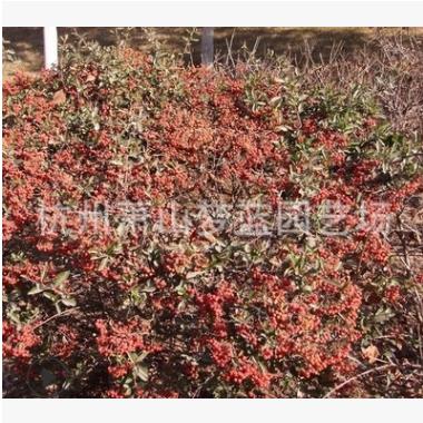 小丑火棘 地被 球类 水生植物 品种 规格 齐全 萧山园林 绿化苗圃