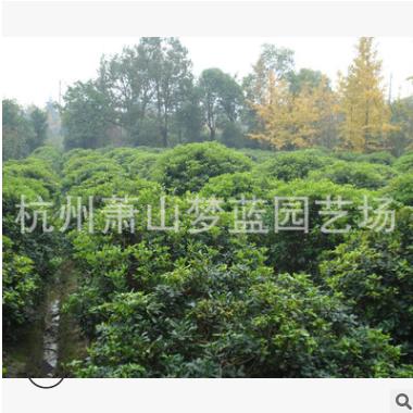 海桐球 土球好 冠幅好 灌木 地被 球类 色块类 优质苗 园林 绿化