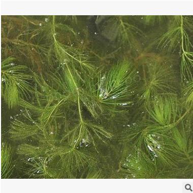 金鱼藻 水生 植物 花灌木 地被 球类 色块 乔木 园林 萧山 苗圃