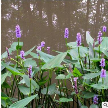 海寿花 各种 水生 植物 花艺 地被 色块类 批发 萧山 基地 直销
