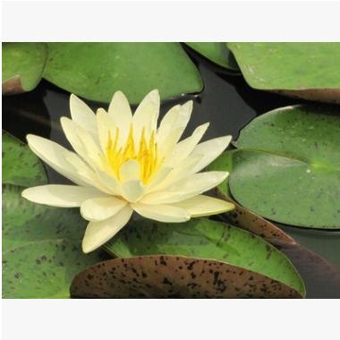 睡莲 水生植物 优质苗 成活率 高 荷塘 公园 水上种植 美化环境
