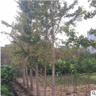 特价 银杏树 厂家直销庭院园林绿化苗产地货源基地直销 价格合理