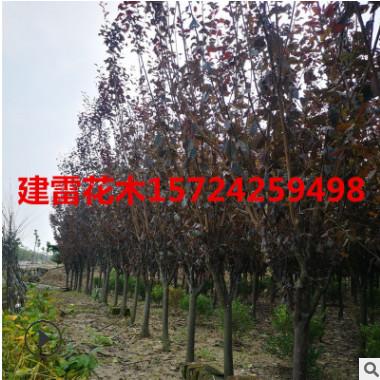 红叶李 紫叶李 规格 品种 齐全 土球好 冠幅好 精品苗