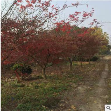 基地大量出售 红枫 各种规格 各种品种 量大优惠 别墅工程