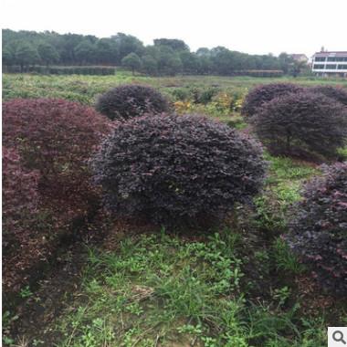 萧山基地出售 红花继木球 各种规格品种齐全 工程 公园 别墅