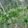 室内盆栽植物花卉 茶花树2年苗木 茶花苗