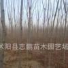 园林风景绿化苗木 黄山栾苗 1-15公分栾树小苗厂家批发