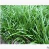 吉祥草 萍蓬草 优质 成活率高 品种 规格齐全 萧山园林 绿化苗