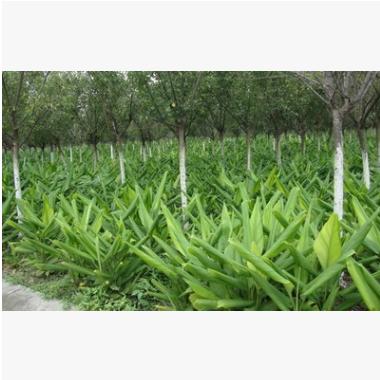 一叶兰 土球 冠幅好 花灌木 地被 品种 规格 齐全 萧山 园林 绿化