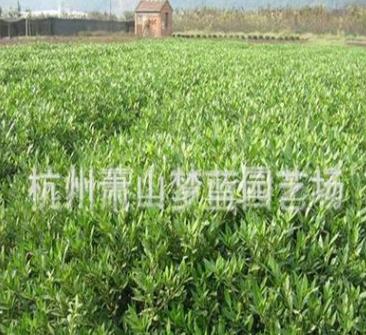 小叶栀子 土球好 冠幅好 成活率高 精品 优质 萧山苗圃 园林绿化
