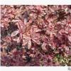 小丑火棘 杭州 萧山 公园 花镜 苗圃 成活率 高 地被 供应 园林