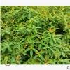 金丝桃 土球好 冠幅好 花灌木 地被 球类 色块类 草花类 绿化苗木
