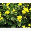 菊花 成活率 高 优质 精品 品种 规格 齐全 萧山 园林 工程苗