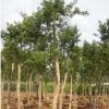假植铁冬青(白银树)树