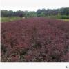 红叶小檗 土球好 冠幅好 花灌木 地被 球类 色块类 草花类