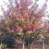 北美红栎价格/发布