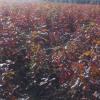 北美红栎小苗价格/北美红栎种子价格