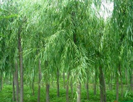 柳树垂柳树价格