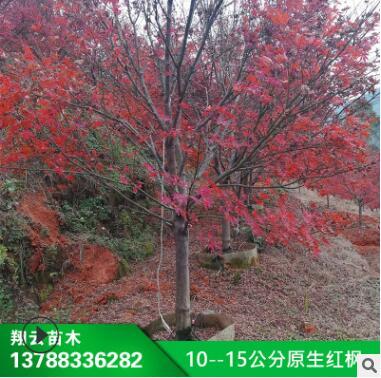 供应 苗木 10--15公分原生红枫 盆栽 红枫 园林 红枫树苗