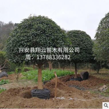 桂花树 桂林桂花树 苗木批发 罗汉松 绿化苗木基地