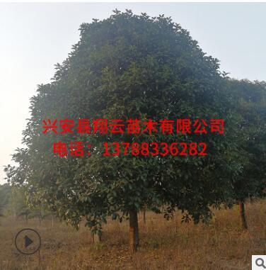 桂花树批发 广西桂花树 大树 浓香型 庭院