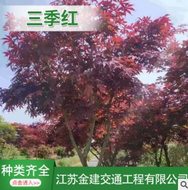 红枫基地 三季红 红枫 品种齐全