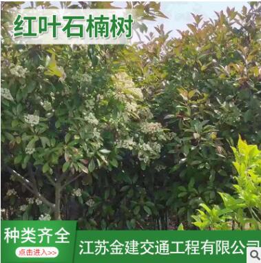 供应高杆【红叶石楠】绿化工程苗木独杆红叶石楠树