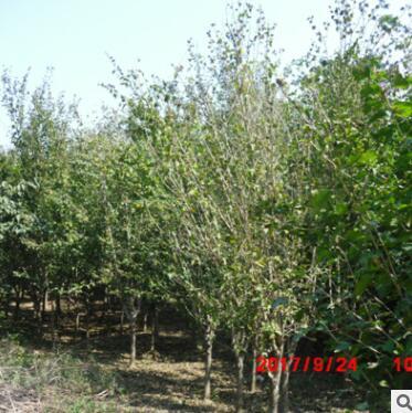 厂家直销木槿树苗 园林绿化苗木适应能力强 大小规格多样