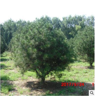 厂家直销白皮松 规格种类多样 白皮松树 易成活 量大从优