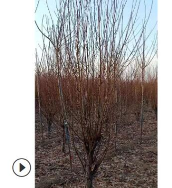 厂家直销碧桃 绿化工程用碧桃 规格多样碧桃树形美观 量大优惠